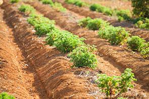 Phael Flor Export : 100% organic.
